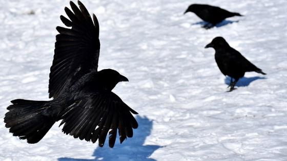 Grand corbeau : livre pour enfant hpi, zèbre